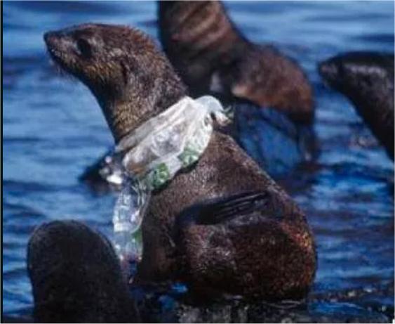 Seehund gefangen im Plastikmüll