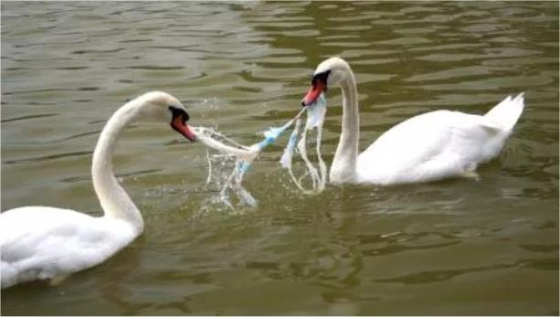 Schwäne mit Plastikmüll